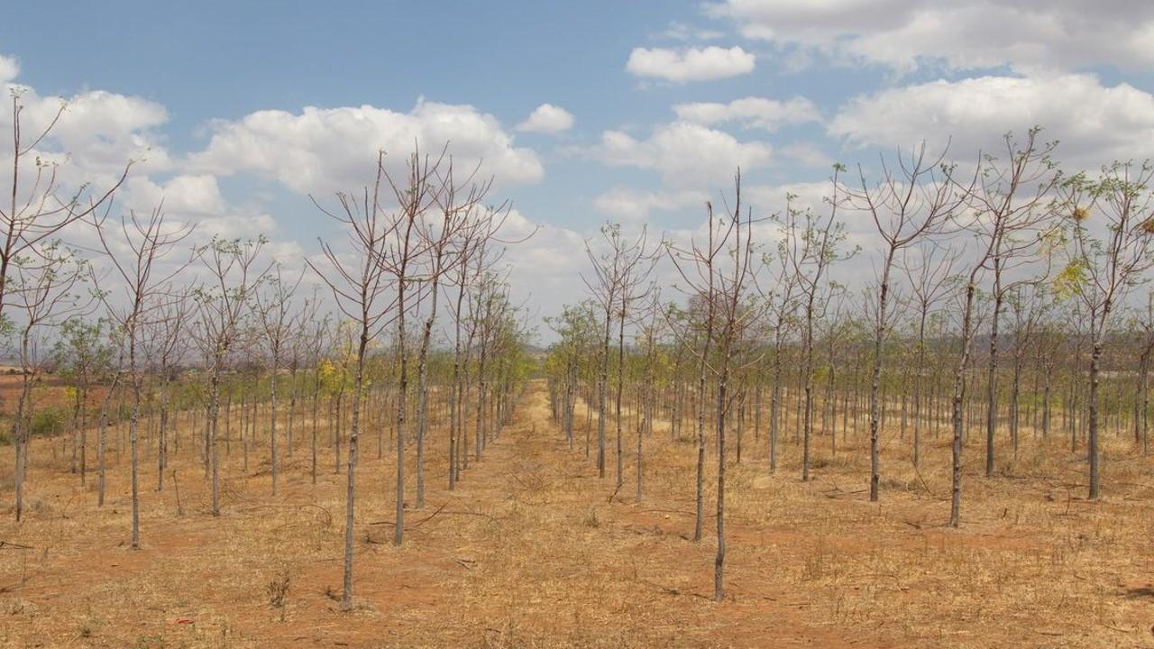 Infarten till Kiambere-plantagen, augusti 2015. Mukau-träden är nu ca 4 år gamla.