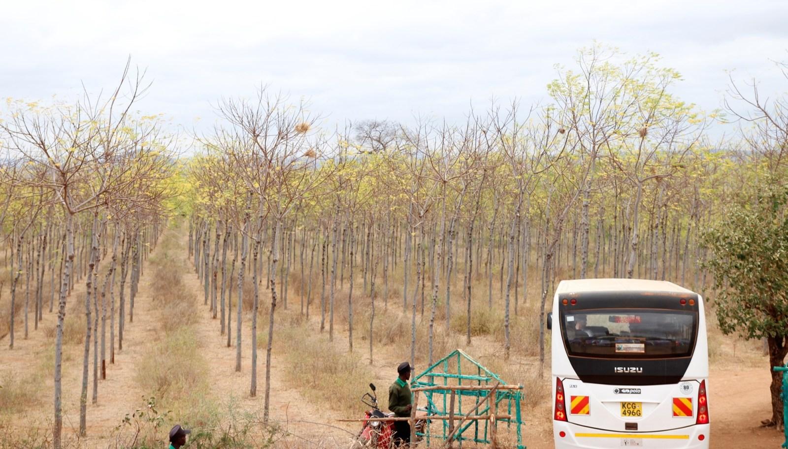 Infarten till Kiambere-plantagen, juli 2017. Mukau-träden är nu ca 6 år gamla.