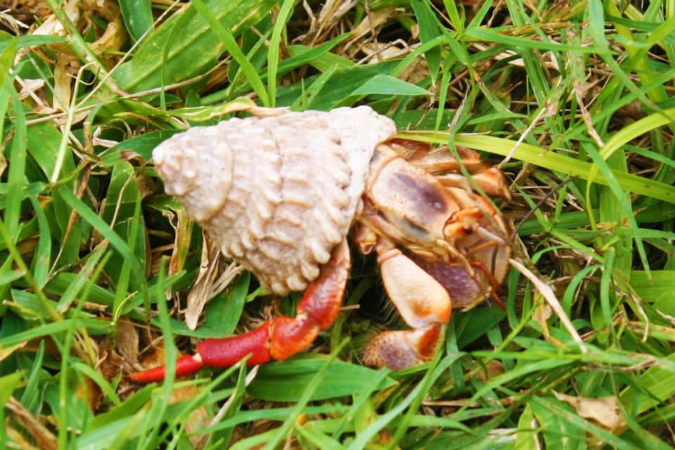 A hermit crab crawls across some grass
