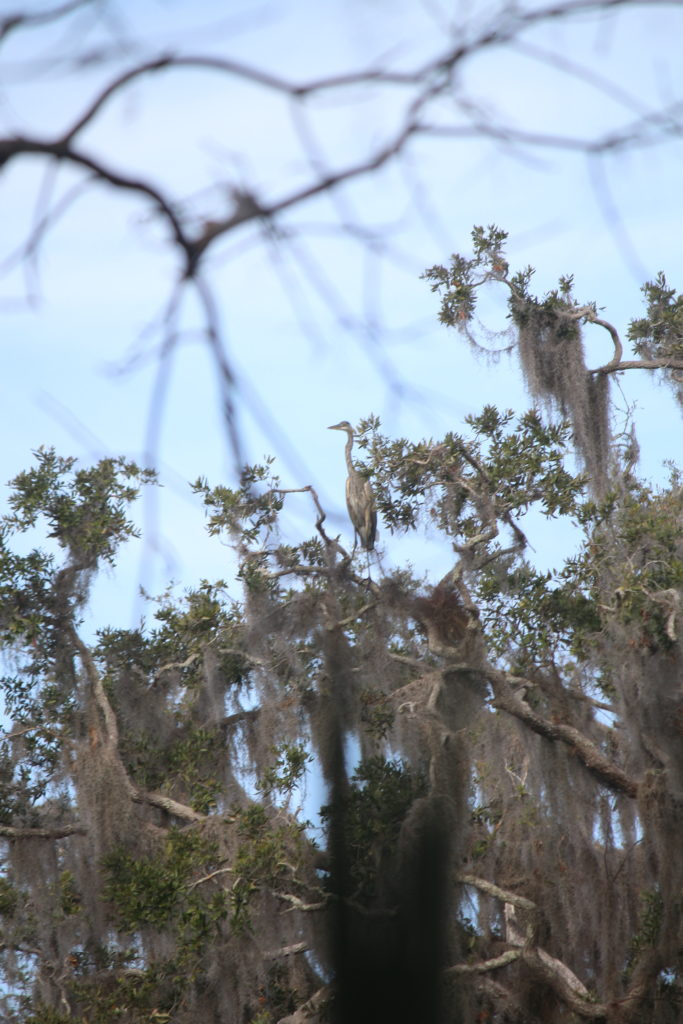 A Great Blue Heron sits perched above the canopy