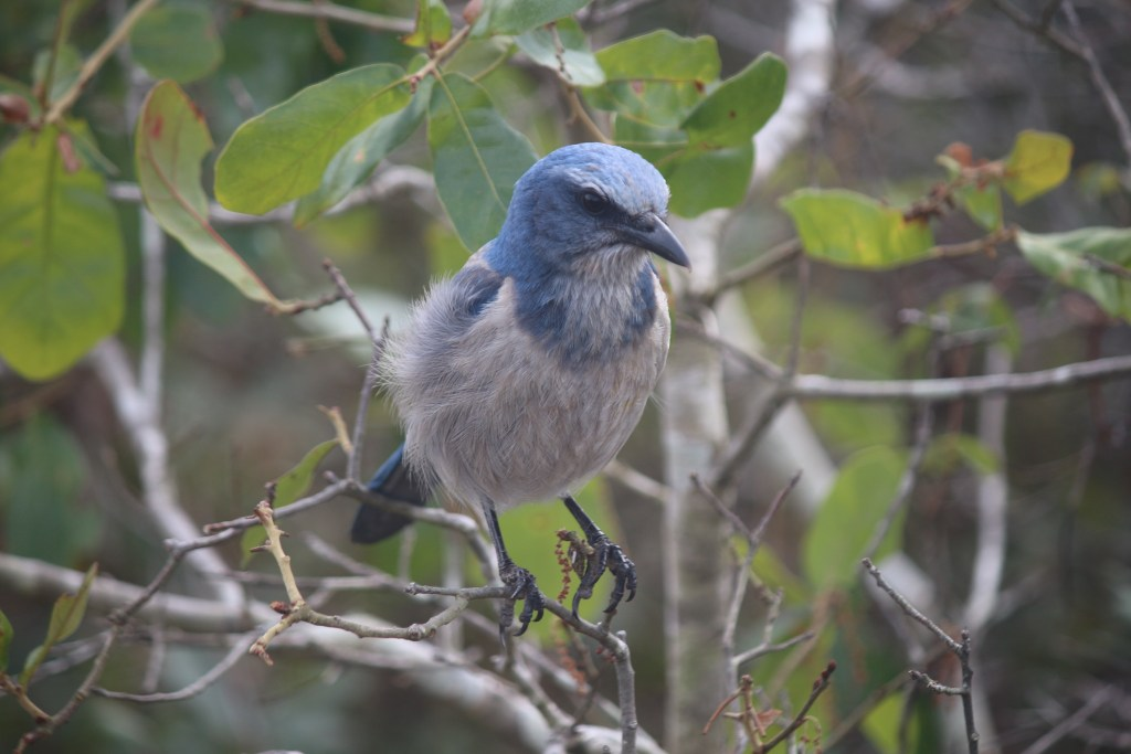 This friendly Scrub-Jay was studying me for a long time, allowing me to snap his photo
