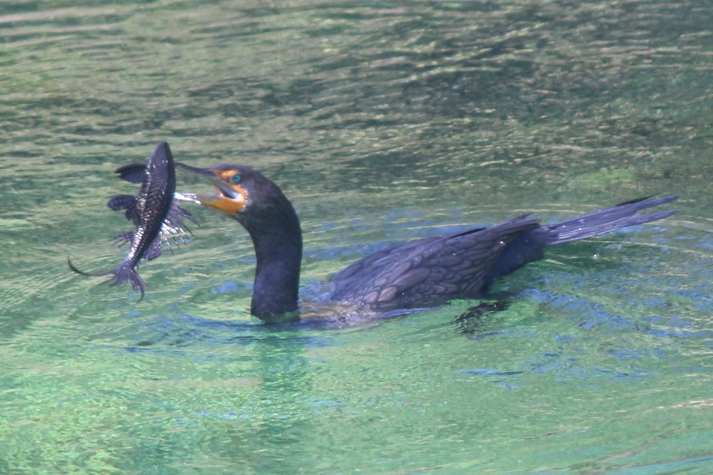 A cormorant successfully catches a fish