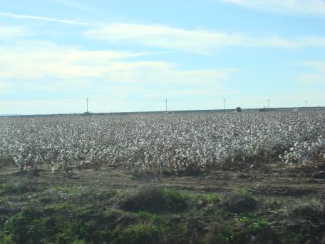 Cotton_fields_121607