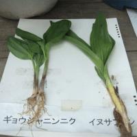 【静岡】70代男性、「イヌサフラン」食べ中毒死 ギョウジャニンニクと間違え