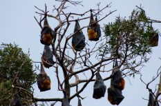 flying foxes or fruit bats hanging from a tree