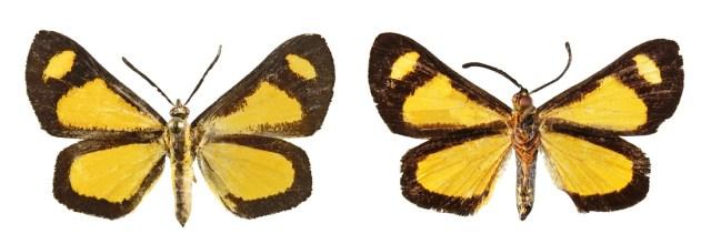 P_bicolor