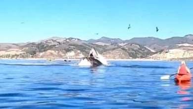 Photo of Video increíble: ballena casi devora a dos kayakistas