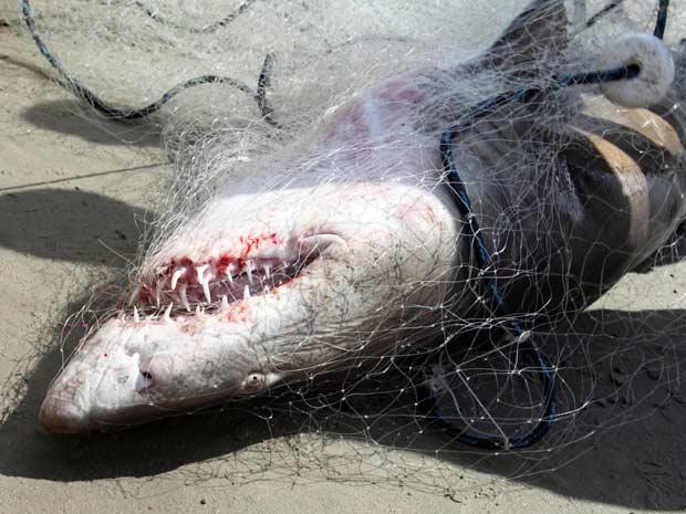 Tubarão é capturado por pescadores em praia do Maranhão