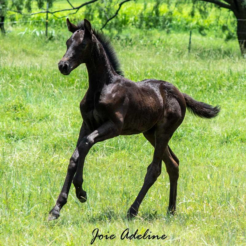 Joie Adeline RSF (Morricone x Freestyle)