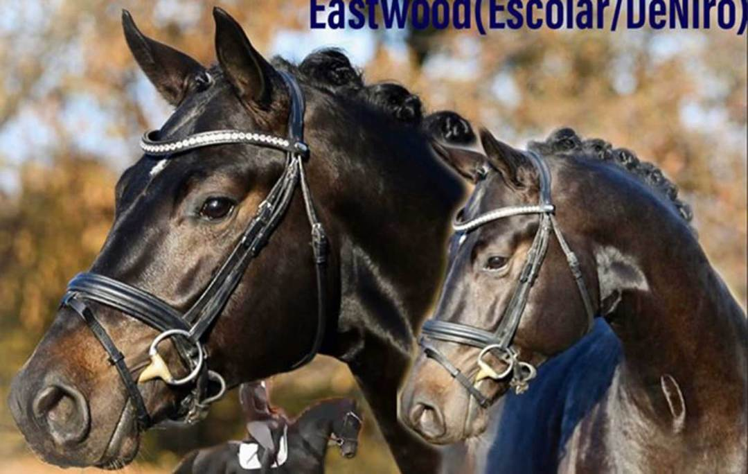 Eastwood (Escolar x DeNiro) GOV Stallion