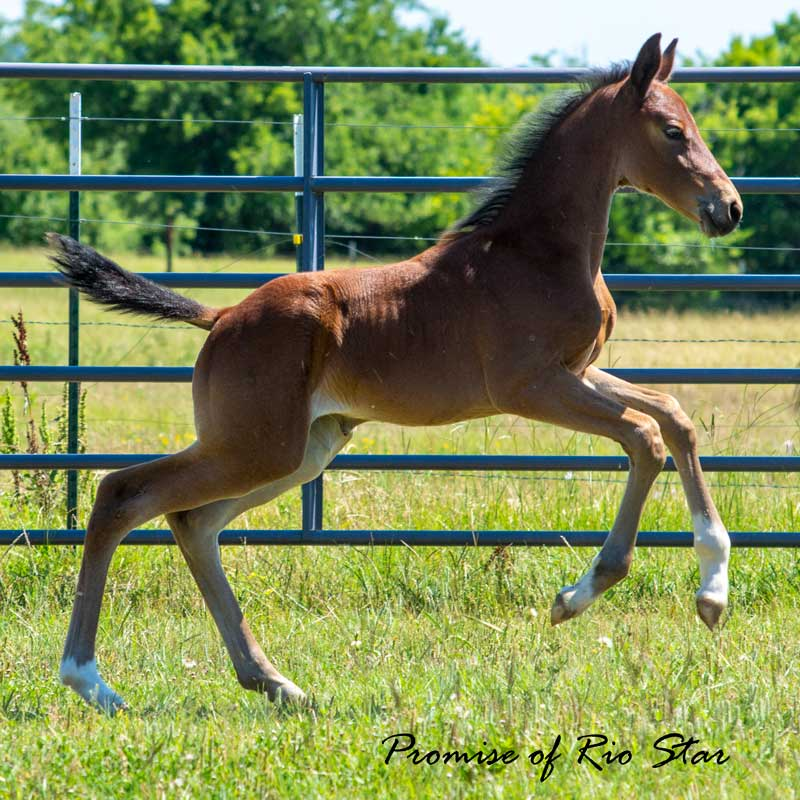 Promise of Rio Star (Gaudi x Roemer)