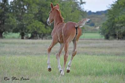 Picture of Sophie RSF (Sir Gregory x Roemer)