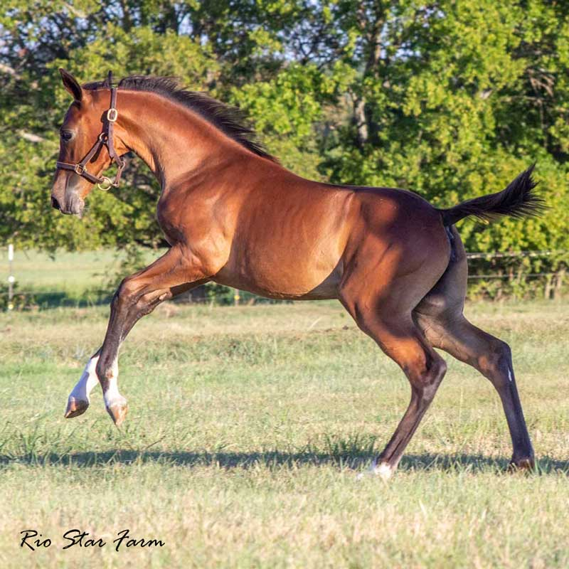 Photo of Promise of Rio Star (Gaudi x Roemer)