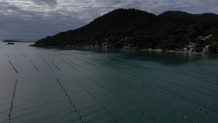 80 percent of Florianópolis Oyster production goes to São Paulo. (Photo Ricardo Wegrzynovski)