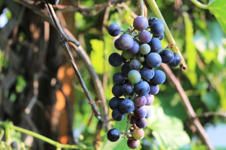 A cluster of grapes on the pergola