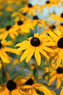 Margit's black-eyed Susans