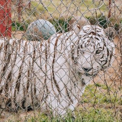 Visiting CARE Tiger Sanctuary in Bridgeport Texas