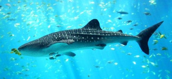 aquarium-whale-shark