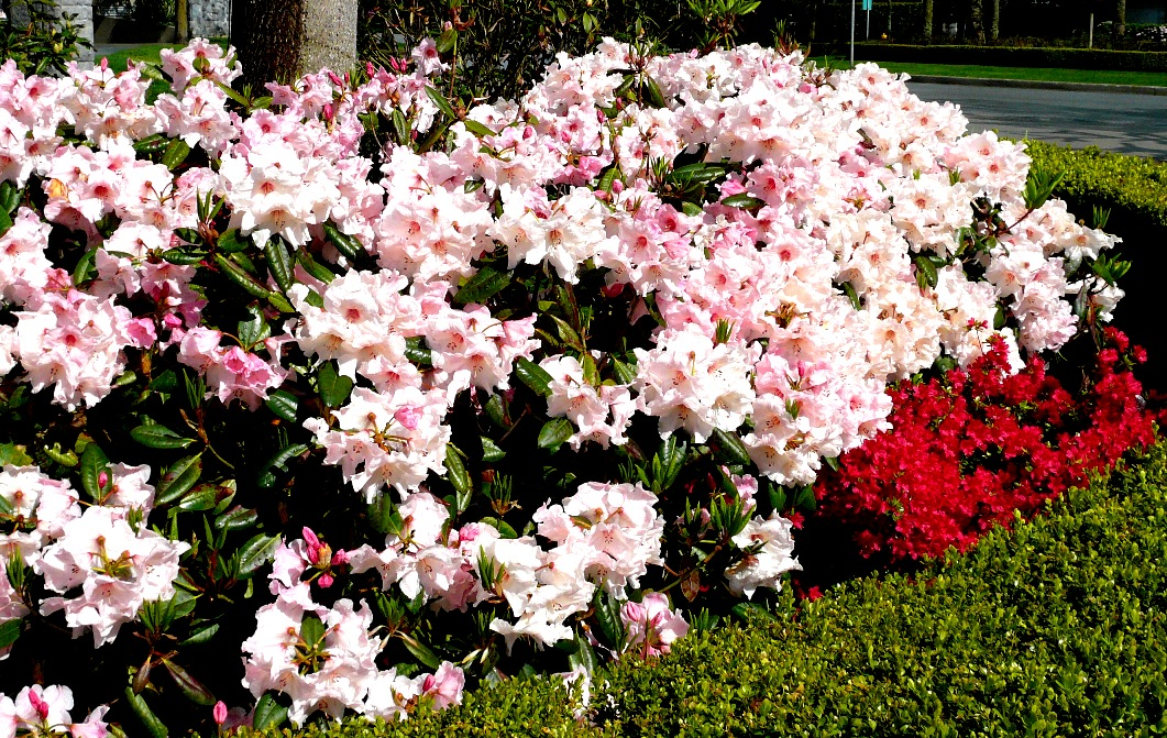 Rhododendron everywhere