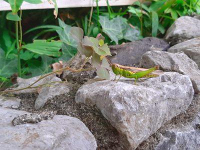 虫もいる ドリプレローズガーデン 生き物 無農薬 ローズガーデン