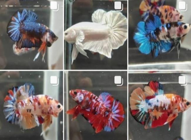 Cara Mengatasi Ikan Cupang Stres, Cek Disini