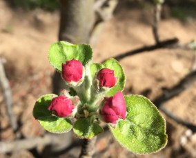 Apple blossoms ready to pop, the day before spring begins
