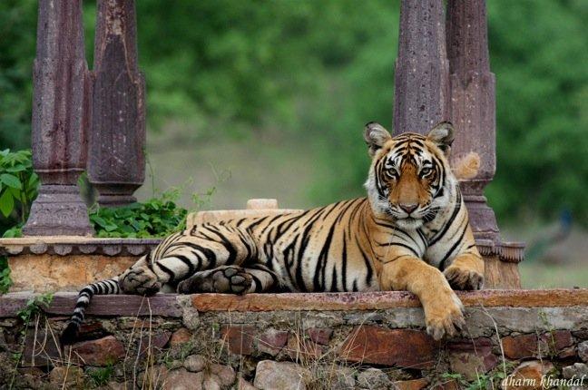 .Tour dell'India _holi festival_Safari_tigre