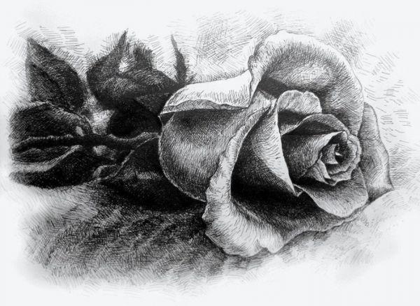 рисунки роз карандашом для срисовки, фото 8