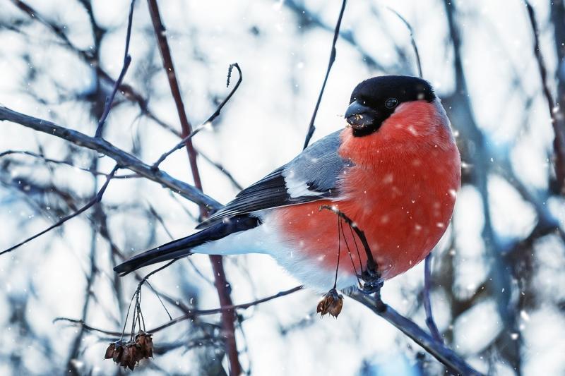 птица снегирь, описание и немного интересных фактов