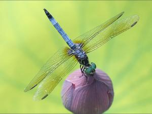 dragonfly_800x600
