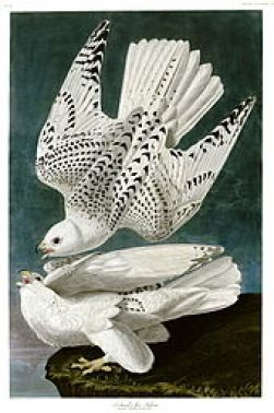 ohn James Audoubon, White Gyrfalcons, hand colored engraving based on watercolor, c.1827-38,