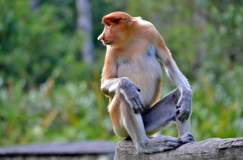borneo scimmie proboscide
