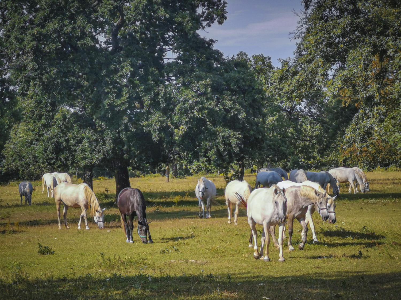 Cavalli lipizzani nel parco di Lipica