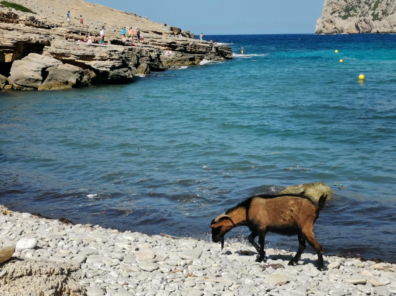 Capre sulla spiaggia di Cala Figueria