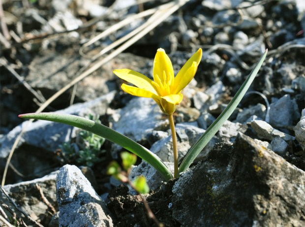 siberian tulip