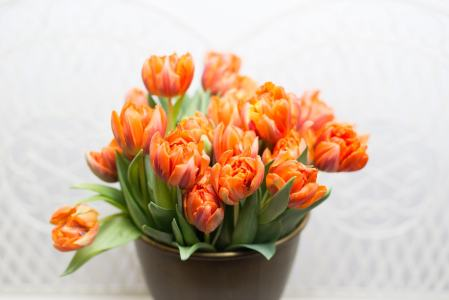 Oranžinės spalvos tulpės