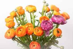 Vėdrynų (Ranunculus) žiedai