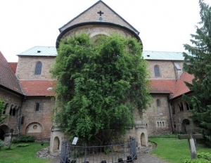 Seniausia pasaulyje rožė Hildelsheimo miestelyje Vokietijoje.