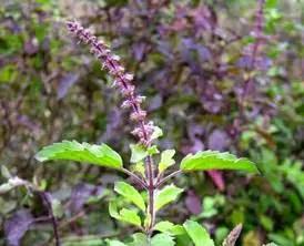 Tulsi - A sacred plant