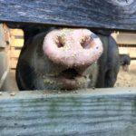 Berkshire Pig Nose