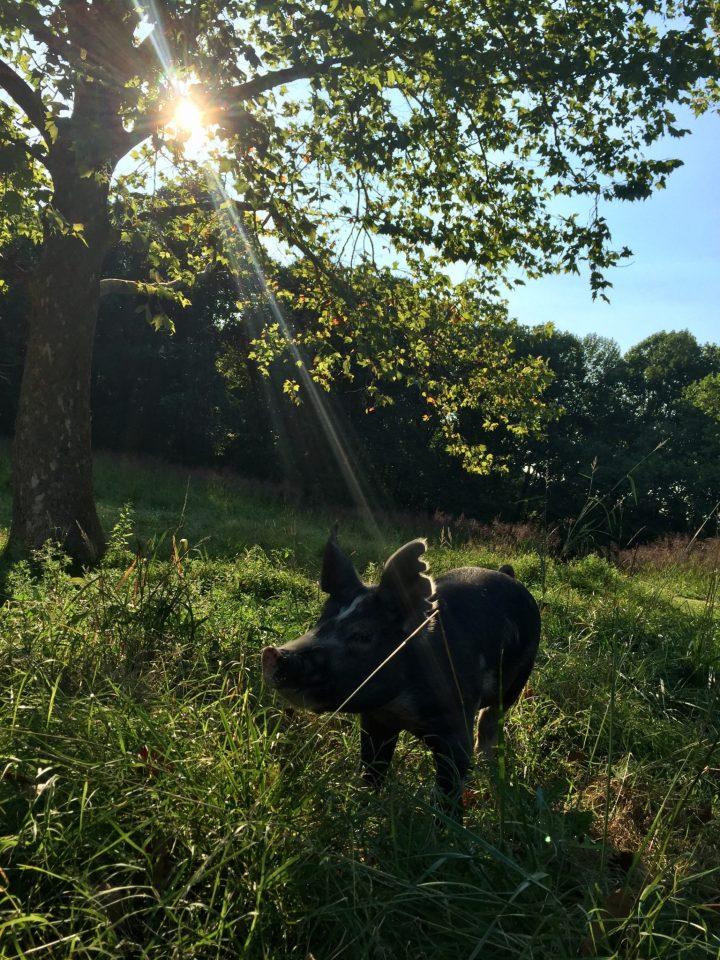 Berkshire Pig in Pasture
