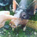 Berkshire Pig