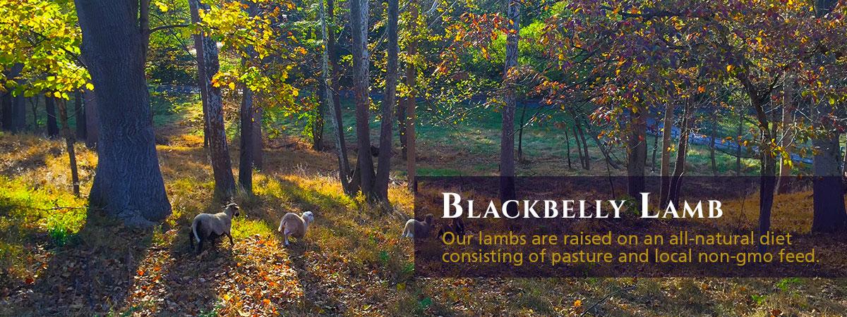 Blackbelly Lamb for sale