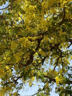 Amaltas trees in full bloom in Chandigarh