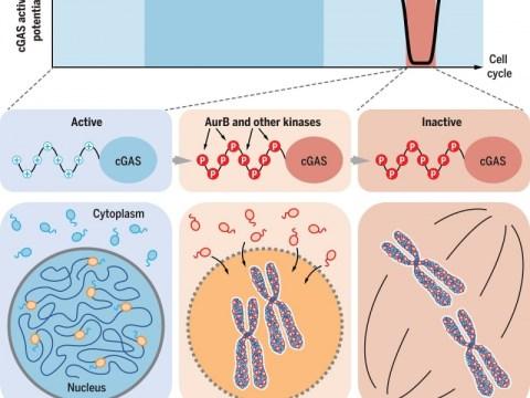 인산화 및 염색질 테 더링은 유사 분열 동안 cGAS 활성화를 방지합니다.