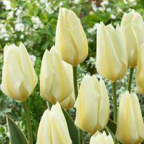 tulip_yellow_purissima