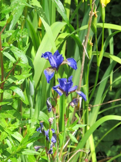 Blue iris in the pond