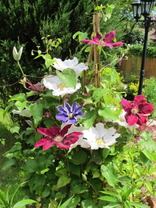 Three colours of dwarf Clematis