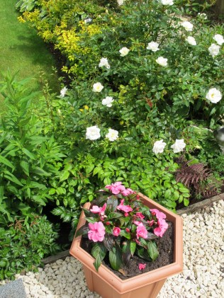 Pink New Guinea Impatiens, white rose and lots of foliage colours