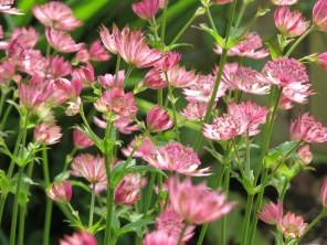 Red (or is it pink?) Astrantia